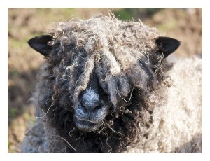 woolly head