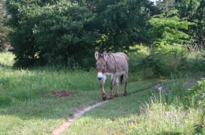 plodding donkey