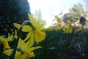 Spring daffodils at Wisley