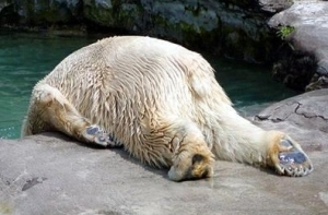 depressed polar bear