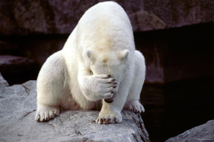 Disappointed polar bear