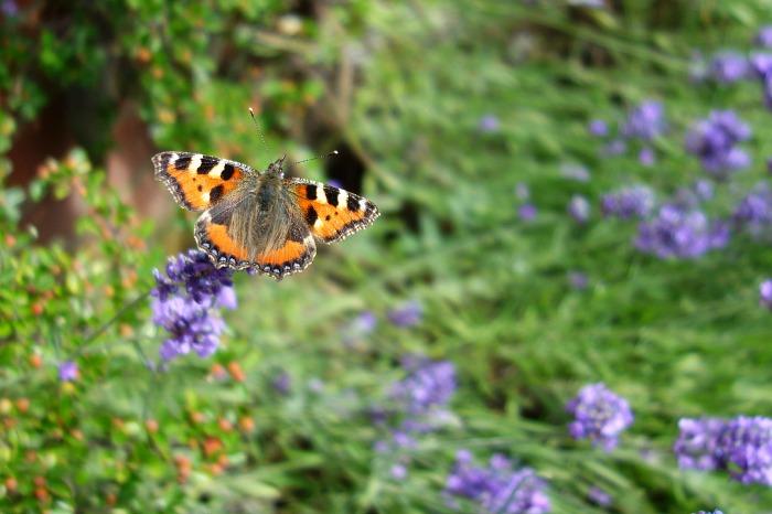 Norfolk railway butterfly 1