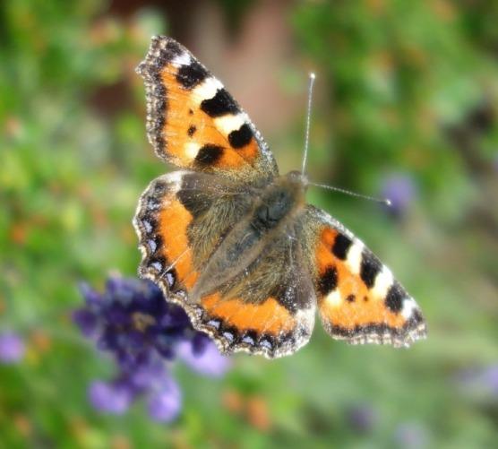Norfolk railway butterfly 2