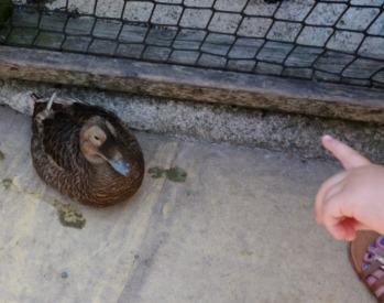 Devon naughty duck